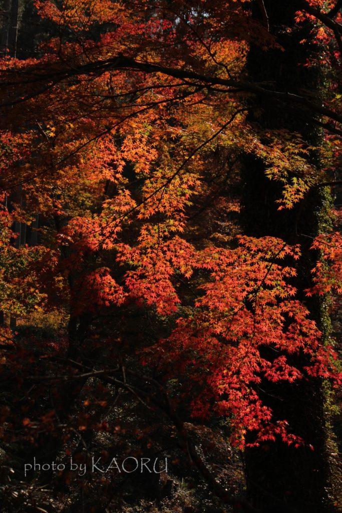 大原 三千院 紅葉