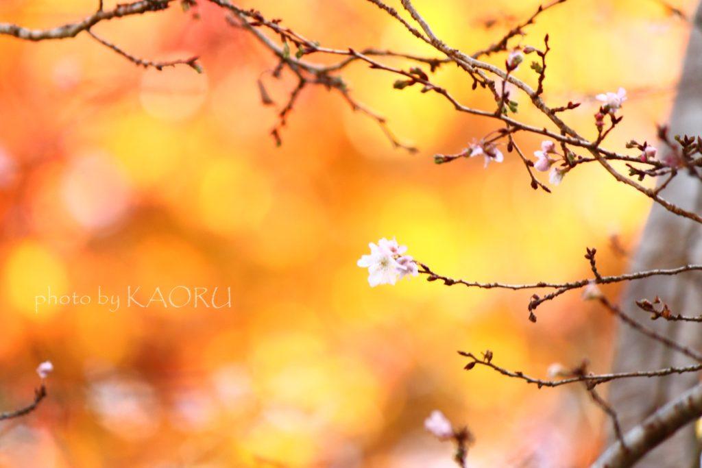 大原 三千院 紅葉 桜