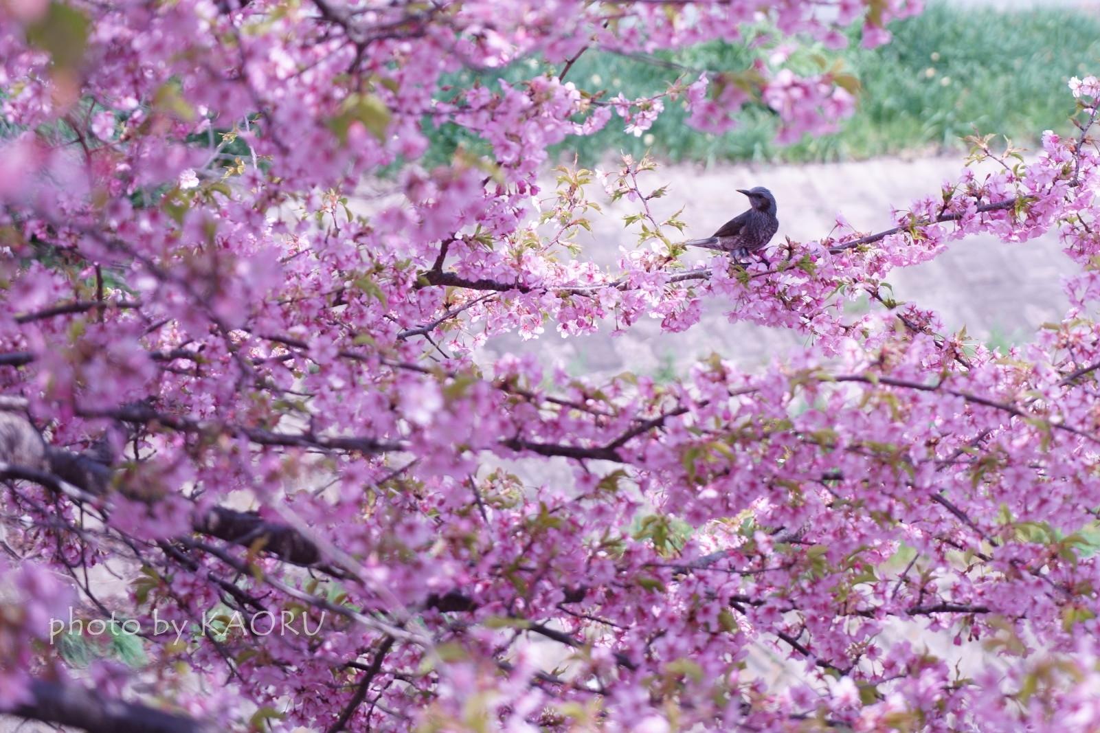 佐保川 桜