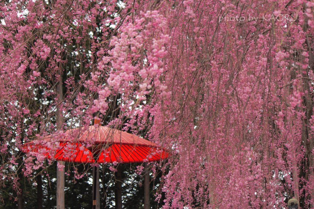 高見の郷 千本桜