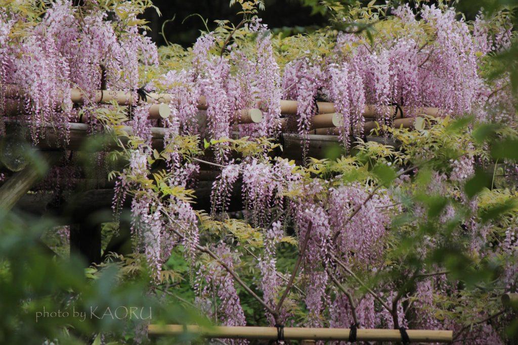 萬葉植物園 藤