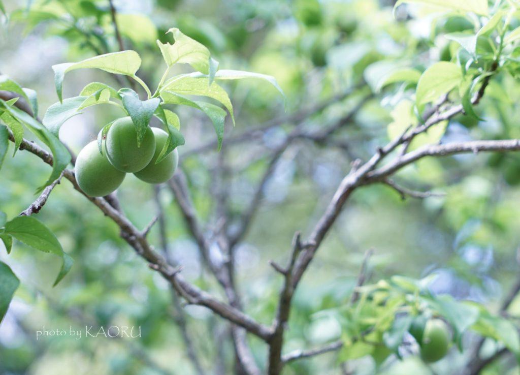萬葉植物園 梅