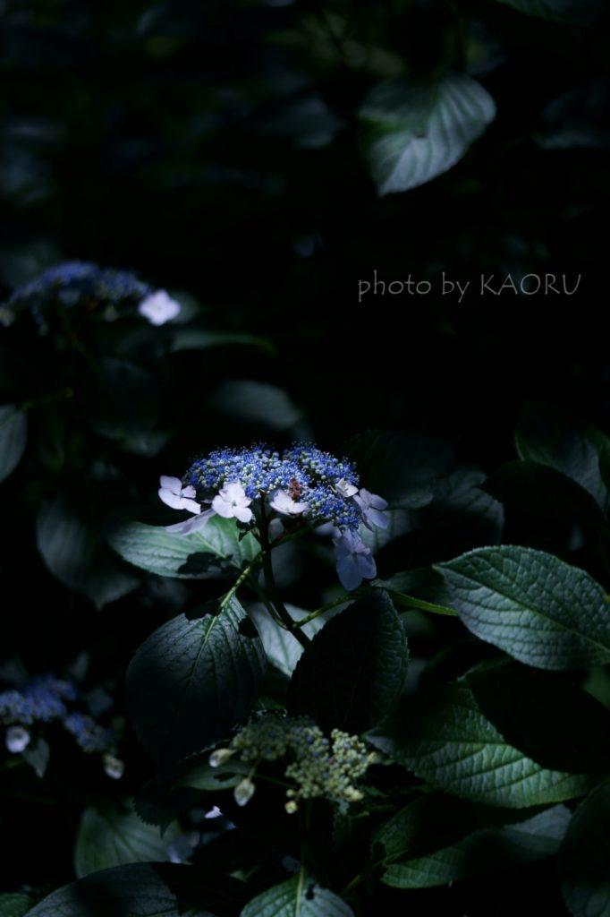 矢田寺 紫陽花