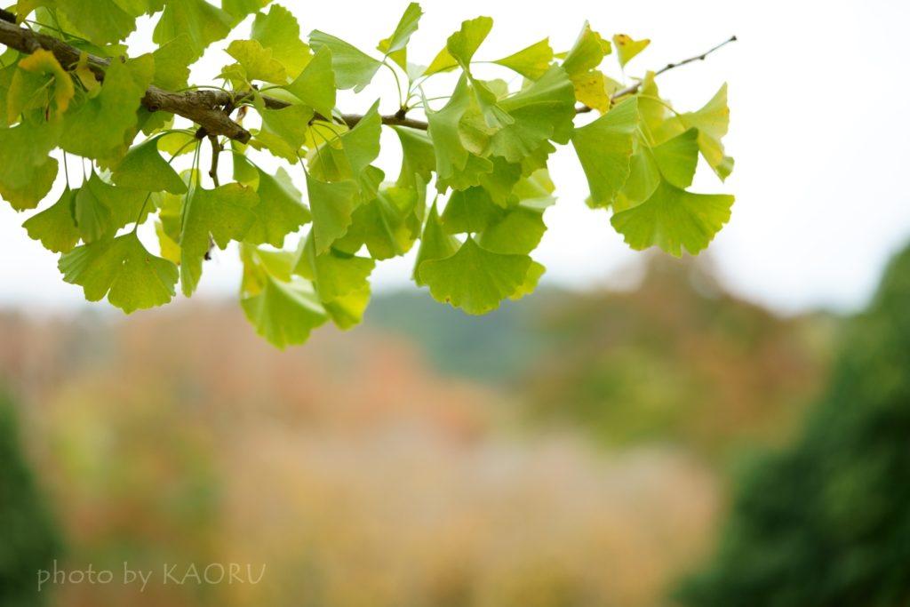 奈良公園 紅葉 イチョウ