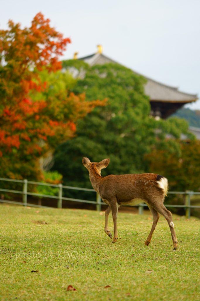奈良 奈良公園 大仏池 紅葉 鹿