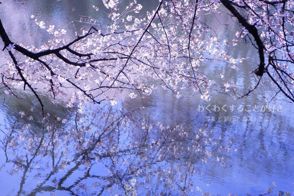 新宿御苑 水面 桜
