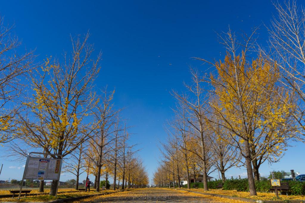 加須はなさき公園 いちょう