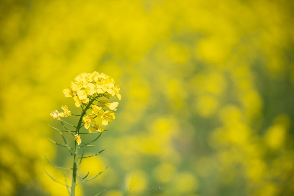 一面の菜の花