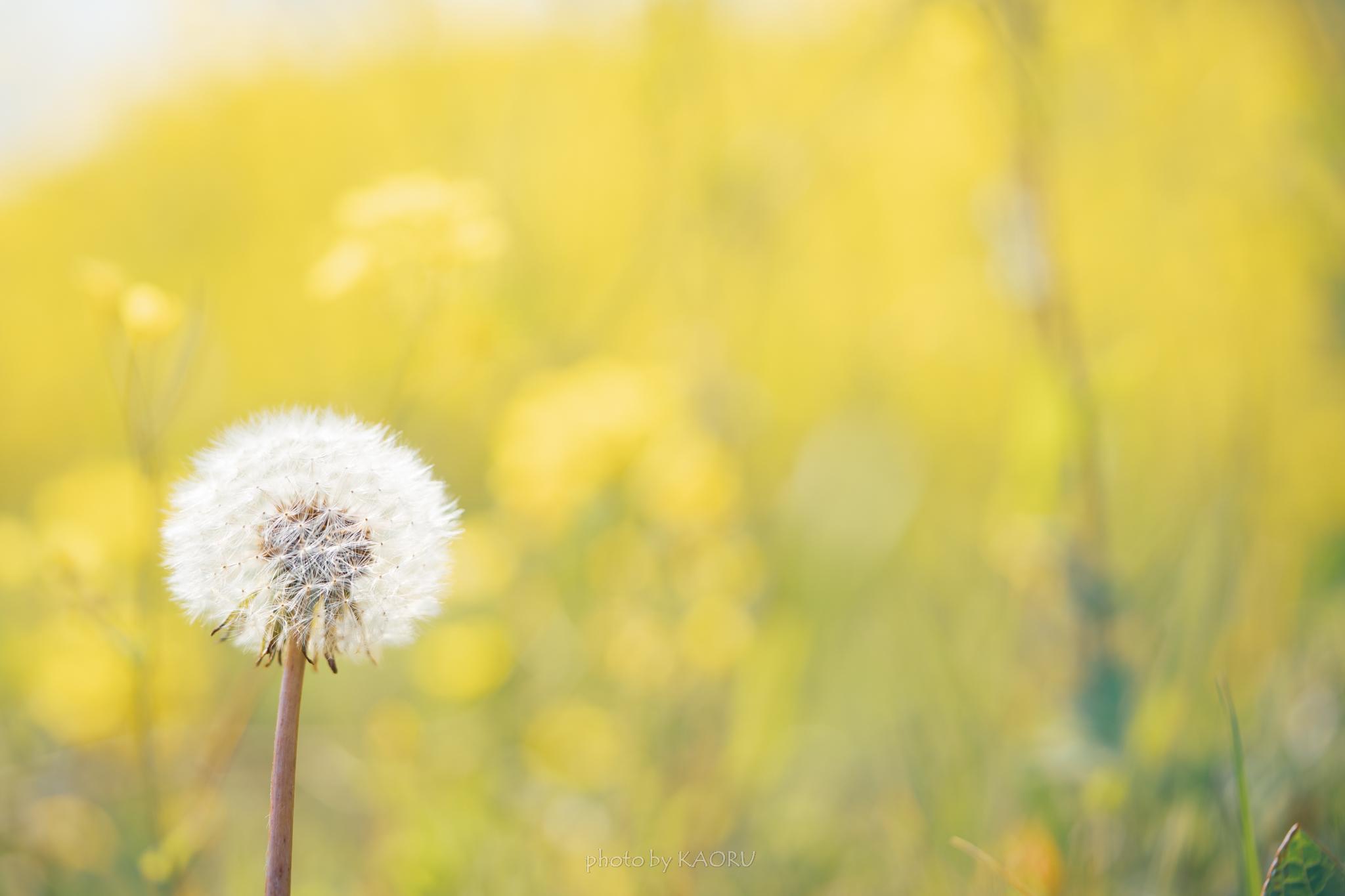タンポポと菜の花
