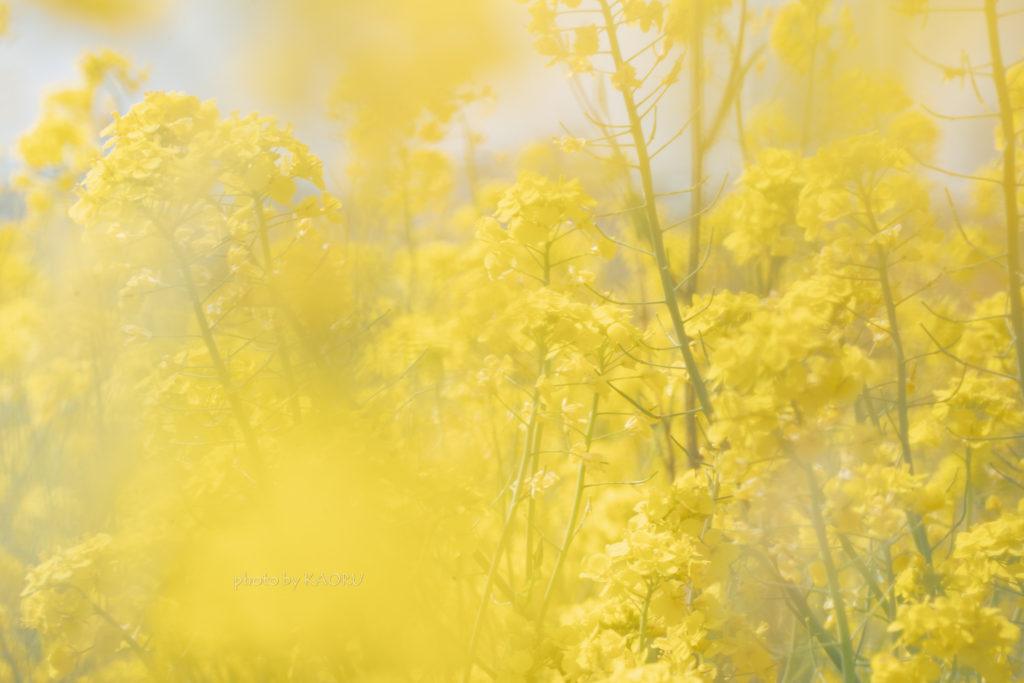 一面黄色の菜の花