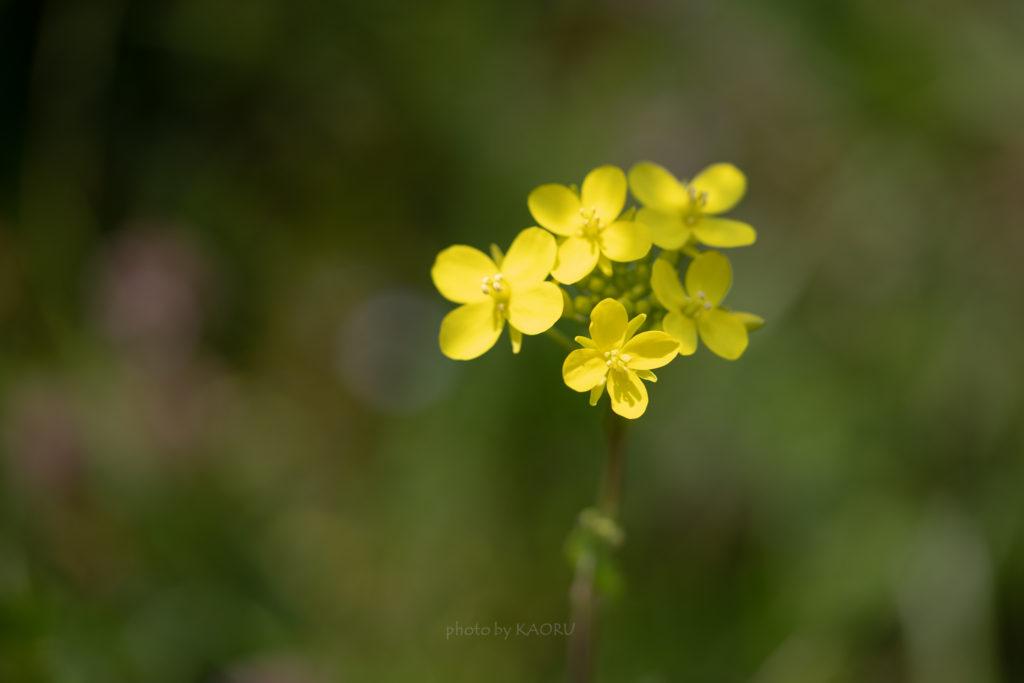 寂しい菜の花