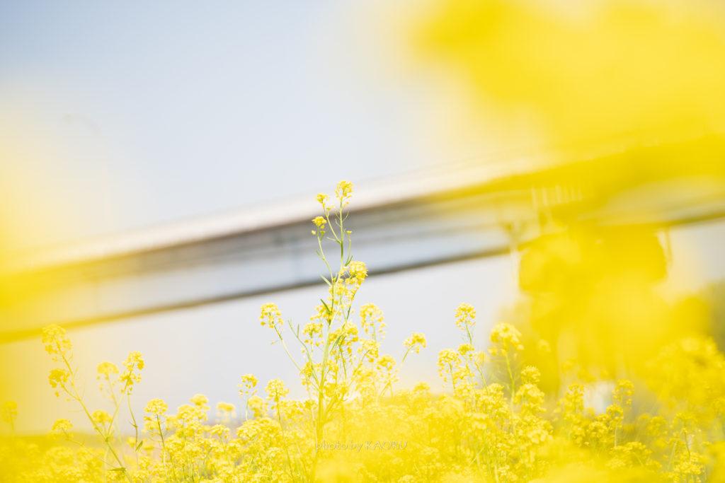 橋と菜の花