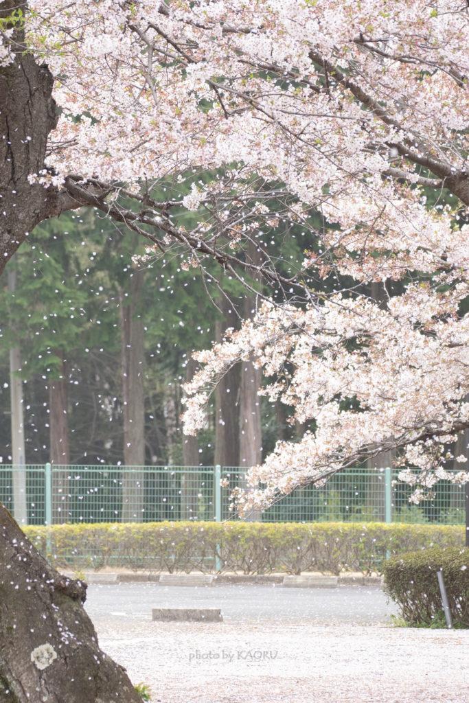 清水公園の桜吹雪