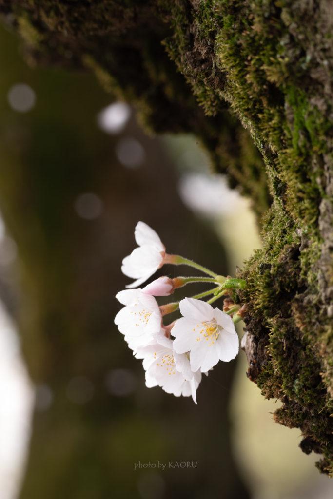 清水公園 桜