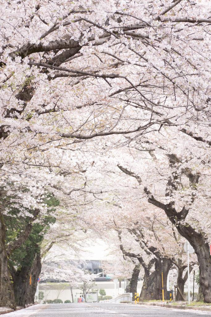 清水公園の桜並木