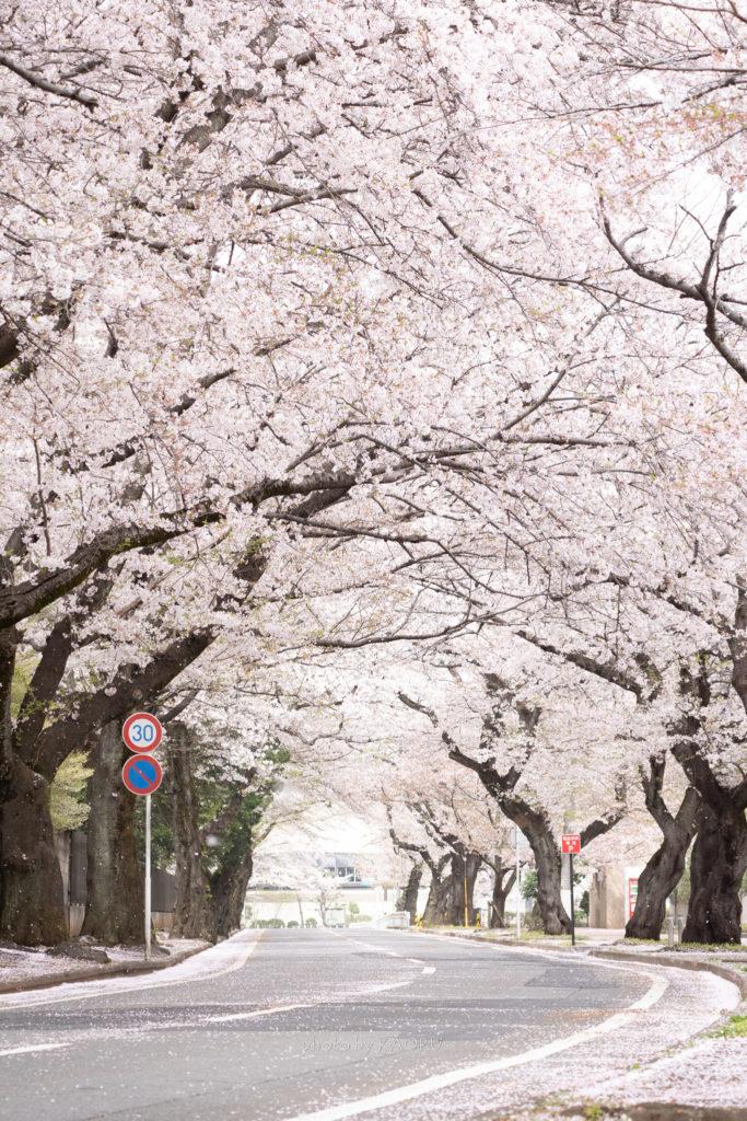 清水公園の桜並木と標識