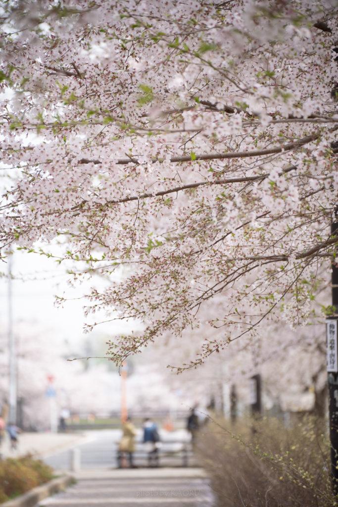 清水公園の桜並木 トンネルそば