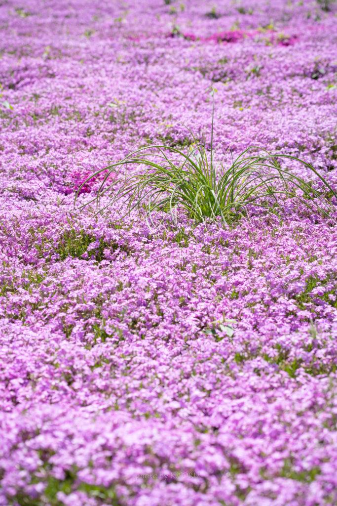 シバザクラと雑草と…