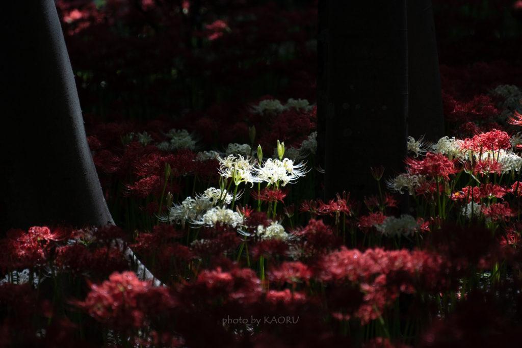 光と影の彼岸花