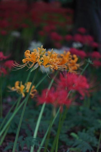 赤と黄色の彼岸花